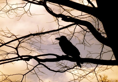 Crow in Yoyogi Koen, Tokyo  © 2006, Juniper Stokes